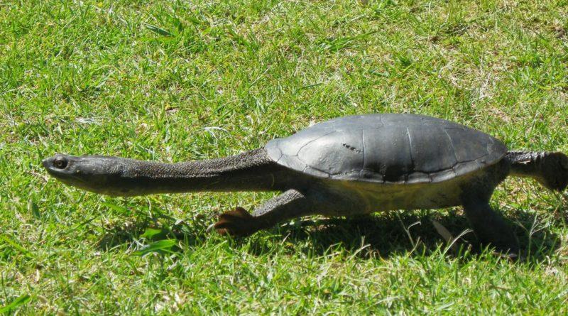 Бокошейные черепахи: Древнейшие рептилии со змеиной шеей