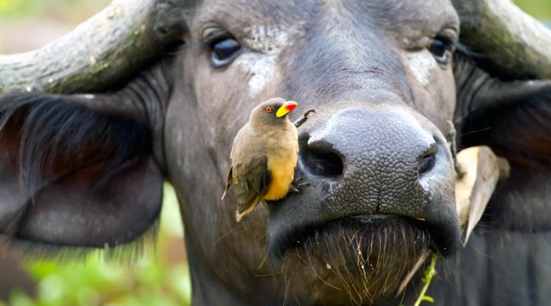 Волоклюй: Африканский спасатель всех копытных