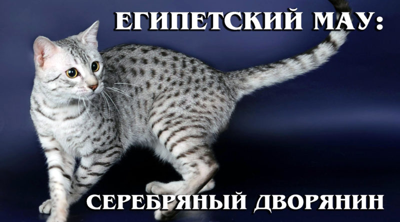 ЕГИПЕТСКАЯ МАУ: Клеопатра в кошачьем мире | Интересные факты про породы кошек