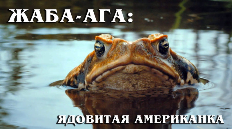 Жаба-ага: Огромное ядовитое и смертоносное земноводное – тростниковая жаба | Интересные факты про земноводных