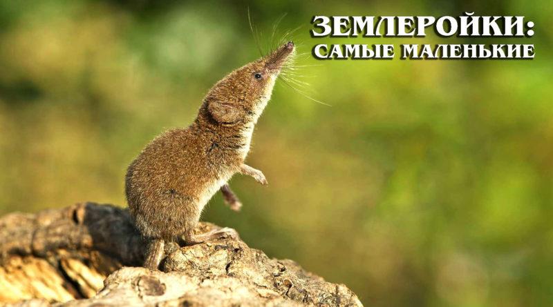 ЗЕМЛЕРОЙКИ: Самые маленькие и умные млекопитающие на планете | Интересные факты про животных планеты