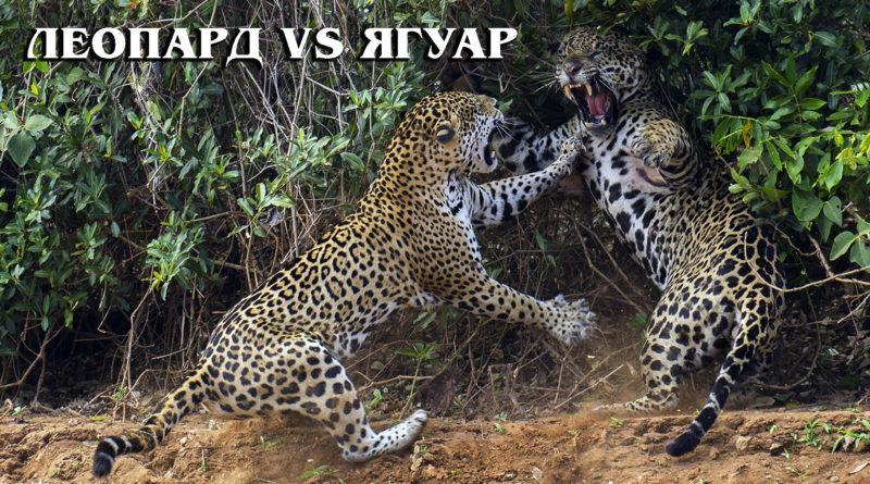 ЯГУАР VS ЛЕОПАРД: Кто из этих двух больших кошек сильнее, ловчее и опасней | Интересные факты про ягуара и леопарда
