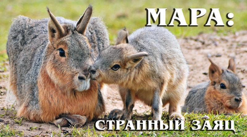 Мара: Патагонский заяц – трансформер из свиньи, оленя и кролика | Интересные факты про грызунов