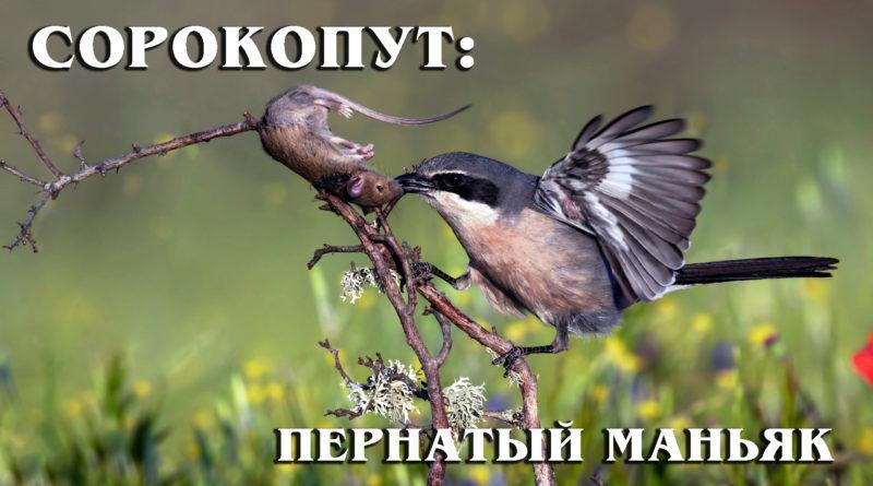 СОРОКОПУТ: Жестокий пернатый хищник с повадками маньяка | Интересные факты про птиц и хищников