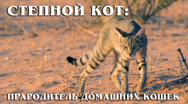 Африканский степной кот: Прародитель всех домашних пород кошек | Интересные факты про кошек
