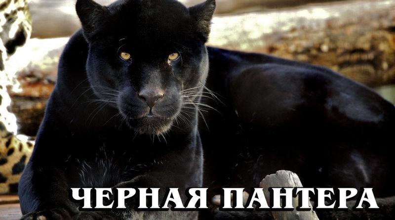 ЧЁРНАЯ ПАНТЕРА: Мифы и реальность о самой мистической природной мутации диких кошек | Интересные факты про больших кошек