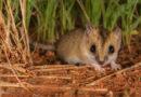 Сумчатая мышь: Очень маленькая австралийка