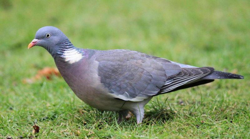 Большая горлица: Дикая родственница голубей