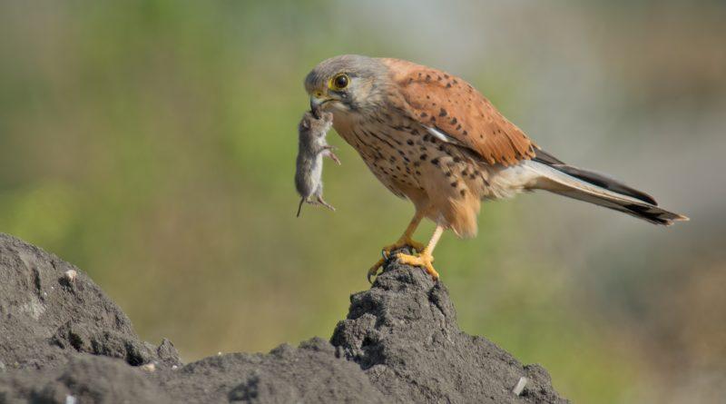 Обыкновенная пустельга: Охота настоящего сокола