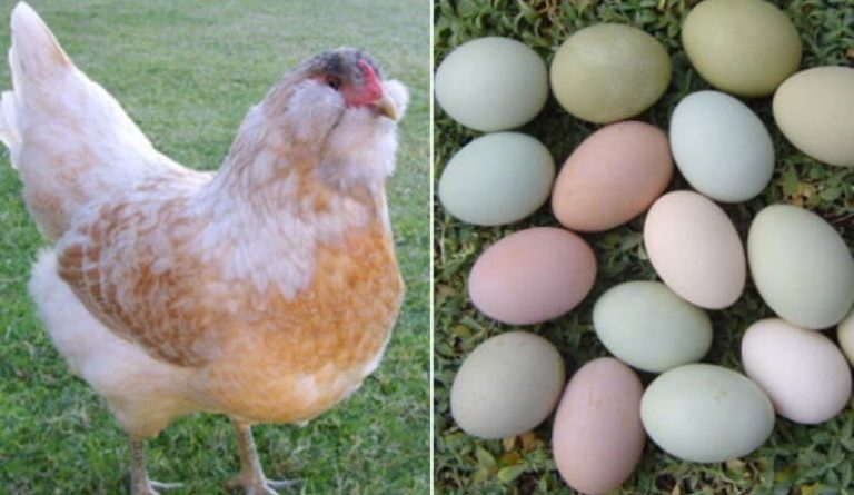 Араукана: Порода куриц с разноцветными яйцами