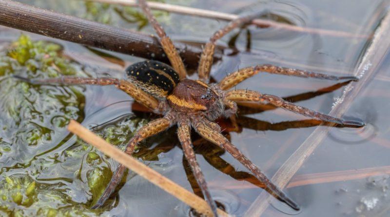 Каёмчатый охотник: Большой паук из России
