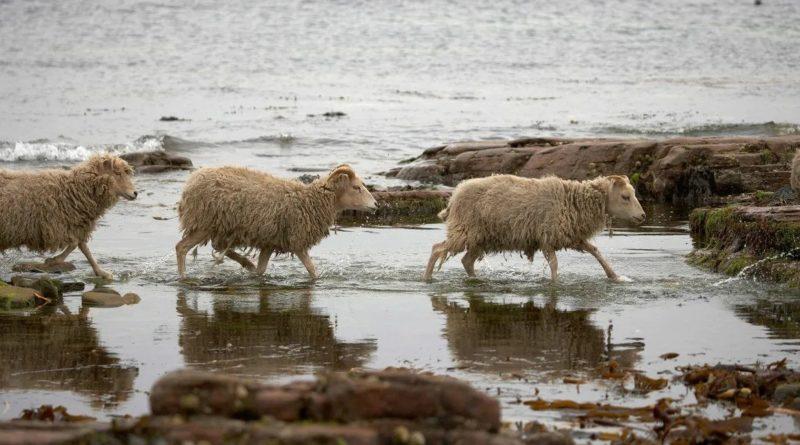 Овцы с острова Норт-Роналдсей: Едят только водоросли
