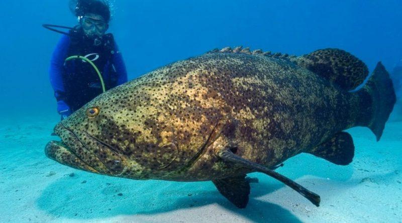 Гуаса: Хищная рыба-камень из Атлантического океана