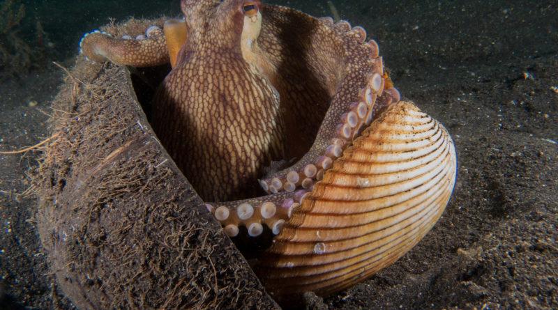 Кокосовый осьминог: Живет внутри орехов