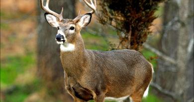 Беломордый олень: Самый высокогорный олень
