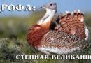 Дрофа: Самая крупная не хищная летающая птица | Интересные факты про птиц