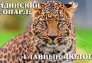 Индийский леопард: Кошка-людоед и мастер маскировки | Интересные факты про больших диких кошек