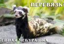 Перевязка: Степной хорек «лазутчик» дружит с лисицами | Интересные факты про семейство куньих