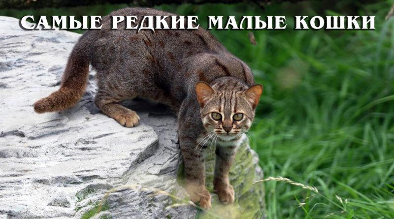 ТОП: Самые редкие дикие малые кошки | Интересные факты про диких кошек