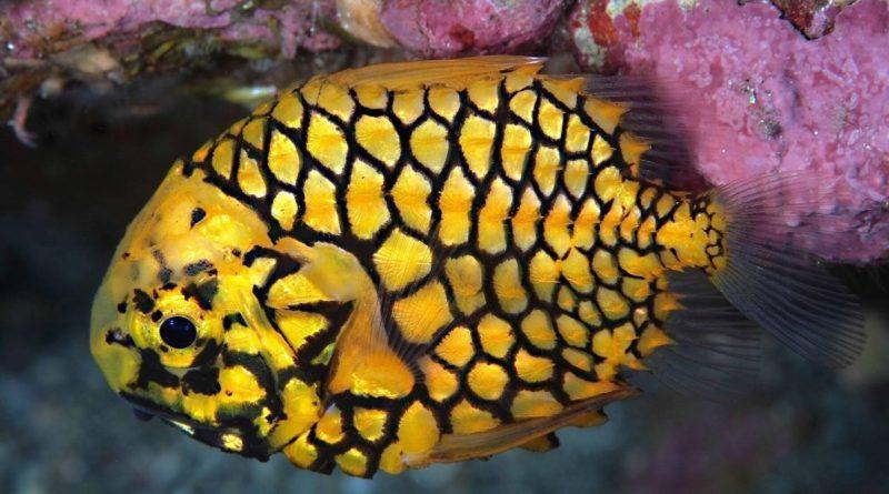 Морской шишечник: Рыба-ананас
