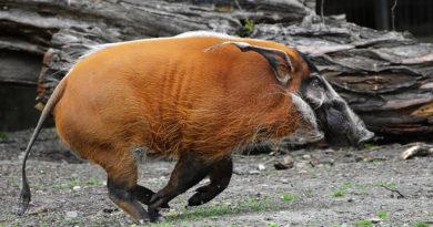 Кистеухая свинья:
