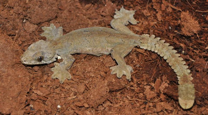 Лопастехвостый геккон: Летающий морщинистый ящер