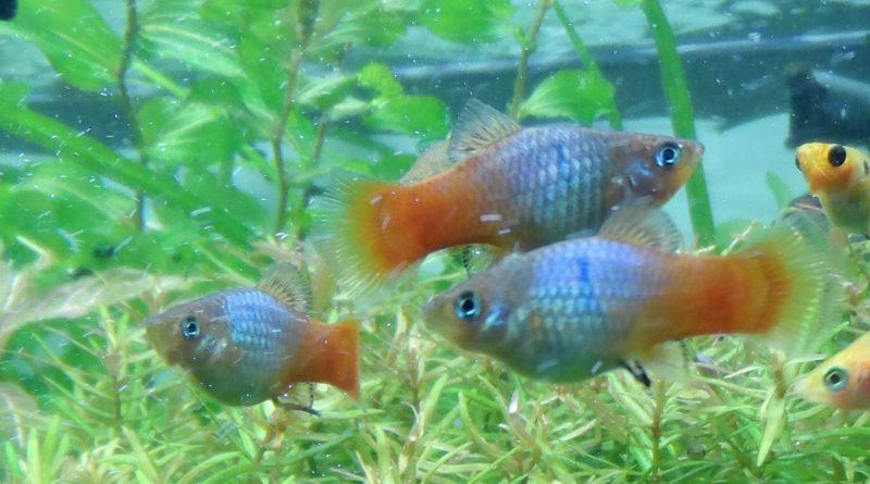 Пецилия амазонская: Рыбы исключительно женского пола