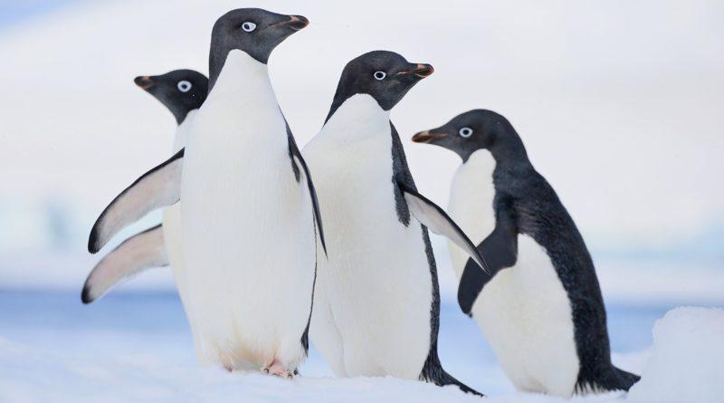 Пингвин Адели: Один из самых распространённых видов пингвинов