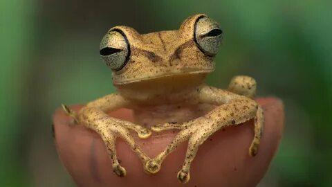 Заботливая лягушка: Вынашивает икру прямо в желудке